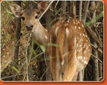 wildlife safari at bandhavgarh - deer