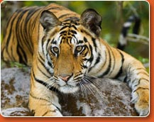 Bandhavgarh Visit during tiger trails to india