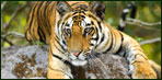 tiger safari - wildlife india
